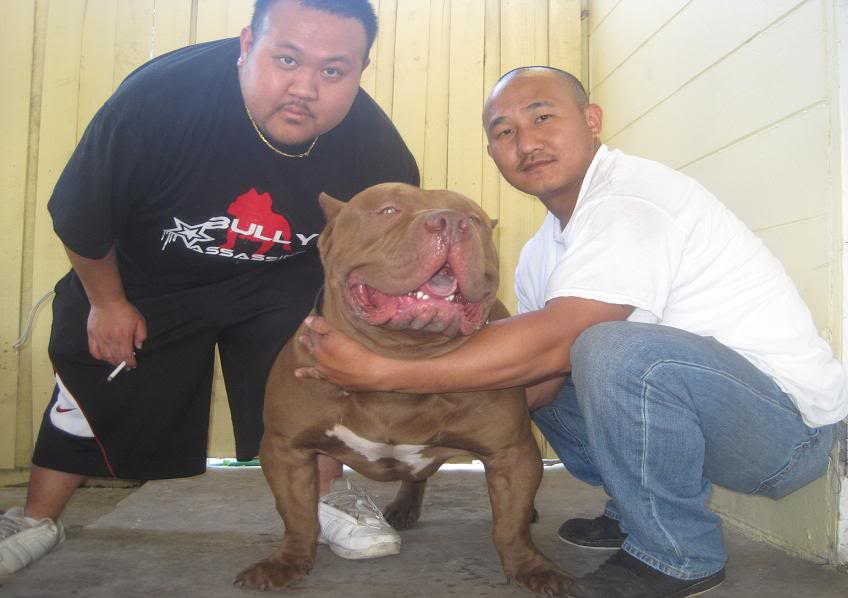 Pitbull On Steroids | www.imgkid.com - The Image Kid Has It!