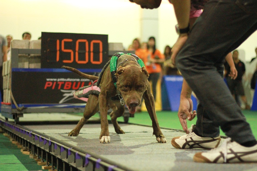 Dog Weight Pulling Record