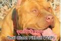 จุดเริ่มต้นของ Thai Giant Pitbull (TGP) ในประเทศไทย